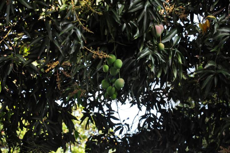 mangueirafaesa