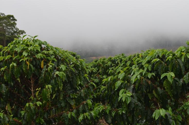 cultivo café_Leando Fidelis (1)