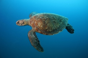 Tartaruga Verde / Foto: Projeto Tamar